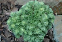 coolplants : dwarf conifers