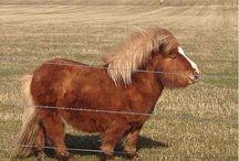 Shetlandi Pony