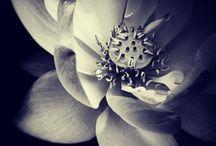 lotus 蓮