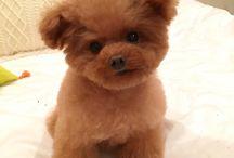 Tiny Teacup Poodle