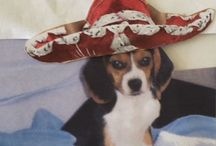 """Beagles / Years ago while writing my novel, The Black Velvet Coat, a mischievous puppy kept showing up on my pages. She was named Lucy, had a long body, droopy ears and cute blinking eyes. We searched at animal rescues for her, but to no avail. Then one day on our way to the hardware store we walked by a pet shop and there she was looking up at me. I said, """"There's, Lucy!"""" We took her home and she has been with us for over ten years and is such a joy."""