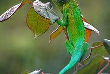 Jackson Chameleons