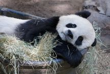 Pandas / Pandas / by Leda Sostoa