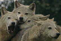 REF: Wolves