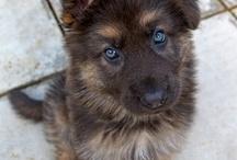 German Shepherd - Duitse Herder / My favorite dog!