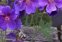 Geranium kurjenpolvi