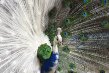 Peacock love / by Jessica James