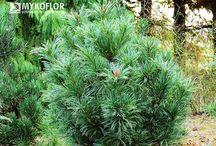 Pinus pumila  - Sosna karłowa