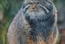 Pallas cat / I just love these cats, they have such adorable facial expressions