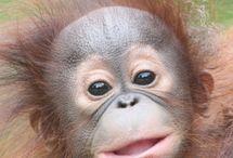 Orangutan / by Stephen Whitelaw