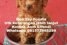 Von Javelline Kennel jual anjing Red Toy Poodle Bandung