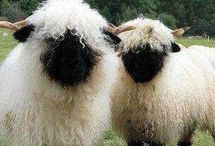 Our Wooly Friends / Alpacas, sheep, llamas, angora bunnies, yaks, and camels! Oh my!