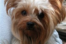 My love of Yorkie and all dogs / Love my Yorkie / by norma aguila