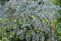 Valerian (valeriana officinalis) / Anything related to the medicinal plant Valerian.