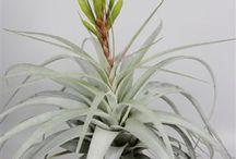 Bromelia / New Tillandsia