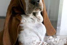 Basset hound - dreamdog <3