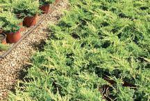 Juniperus Horizontalis Dorato