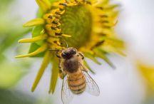 Honey Bee Photos