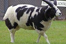 Jacob sheep breed study / 2017