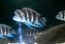 AKWARYSTYKA - AKWARIUM- AQUARIUM - RYBY - FISH
