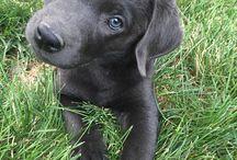 Modry labrador ❤