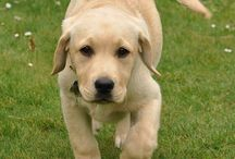 Labrador & Golden Retriever / These 2 breeds are my all time favourite...