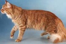 Maine Coon - Red Tabby Mackerel / #MaineCoon #Red #Tabby #Mackerel #Cats