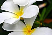 Bloemen/ Frangipani/Plumeria / Frangipani/ Plumeria