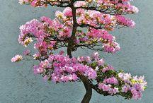 Azaleea Bonsai