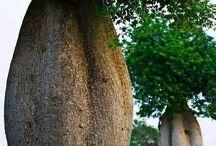 Árboles nativos / Árboles maravillosos  Nativos