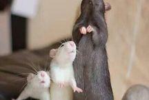 rats, squirrels, mouses