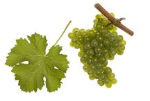 Sauvignon Blanc / Look no further to find great Sauvignon Blanc wines! :)