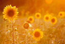 Sunflower <3 / Girassóis e mais girassóis