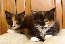 Cassiopea Golden Creek CZ / Fotoalbum mainské mývalí kočičky Cassiopei