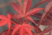 Japanese Maple Trees / A selection of photographs of the Japanese Maple Tree Gift range available from Tree2mydoor.com. This beautiful range of colourful Acer trees is available to send as gifts to customers around the UK and Ireland.