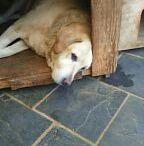 Doggue