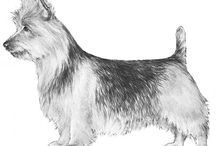 Australian Terrier / The Australian Terrier is small and sturdy with a blue and tan, sandy or red coat that is harsh in texture. They have a keen and alert expression and confident spirit. They are versatile in their work and living situations, making suitable companions in most environments.