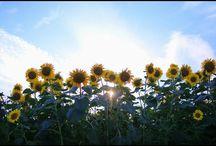 ガヤ勢。 cheeky flowers #sunflower #flowers #summer #ヒマワリ #向日葵 #座間ひまわりまつり #夏の風景写真