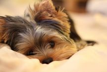I Love Morkies & Yorkies! / by Lisa Shauger