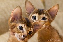 Abessinian cat