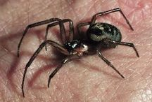 Poisonous (Venomous) Spiders / Start recognizing poisonous spiders in order to avoid them.