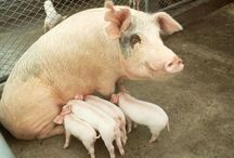 Pigs - Sows - Schweine / here I want to build boxes for 125 breeding sows, so they born each year minimum 650-1500 piglet pigs only 650 pigs are we sold, the investor already has won $ 17,000, but the birth rate of the control pigs, we can not, but we control the Periodical pregnants.1 can sow 5-14 piglets born and the twice a year, so from 10 - 28 can sow piglet per sow at 125 reckon 625-1700 piglet can born.i think but only of 5 piglets per sow, that's why!
