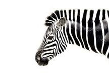 Zebra / This is zeeeebraaaa