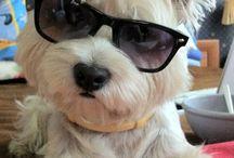 Westie my love :3