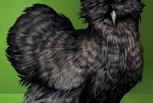 Black Silkie Chickens / Black is one of the most beautiful Silkie colors