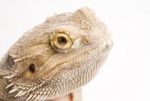 bearded dragons & Geckos / reptiles / by Sherice Lavigne