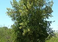Arboricultura Urbana / Conservación y fomento del arbolado urbano