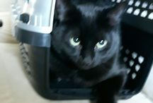 i love Black Kitties / Boris -- my furry grandson and his new liitle brother Carson