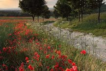 Poppies in Yorkshire