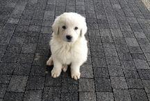 Polish tatra sheepdog / Zetka sweet dog